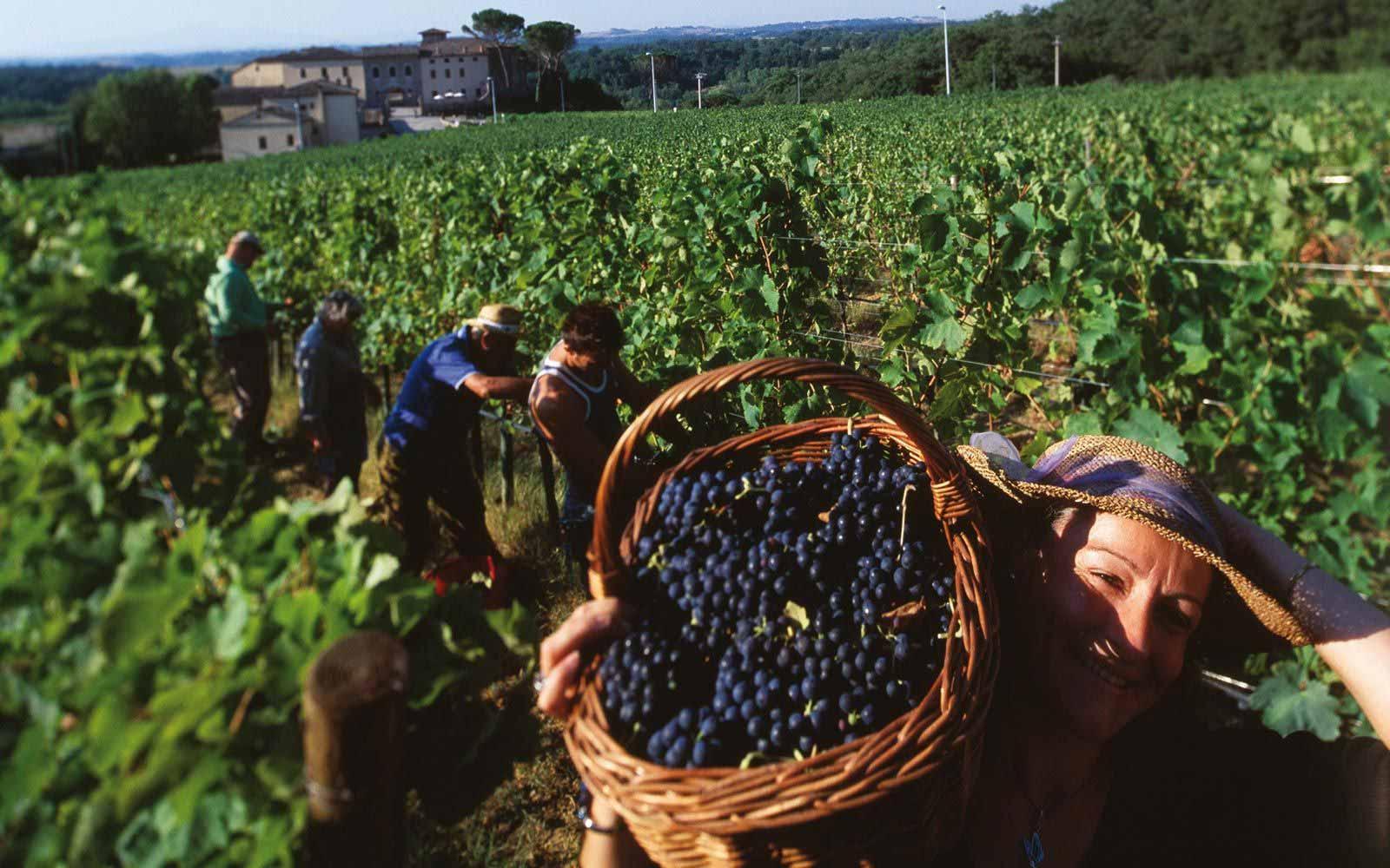 Vineyard at Castel Monastero Tuscan Resort & Spa